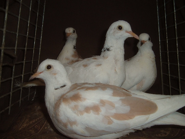 Doves For Sale >> Pied Turtle Aka Ringneck Doves For Sale Pigeon Talk