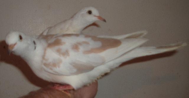 Doves For Sale >> Doves For Sale Pigeon Talk
