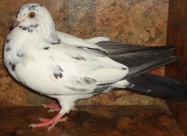 Roller pigeons - photo#38