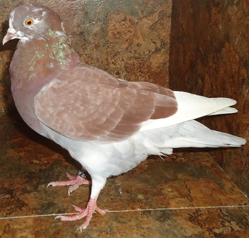 Roller pigeons - photo#15